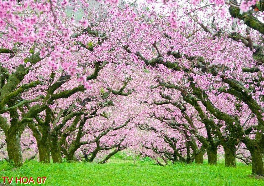 TV Hoa 07 - Tranh về hoa TV Hoa 07