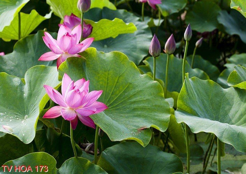 Tranh về hoa 173