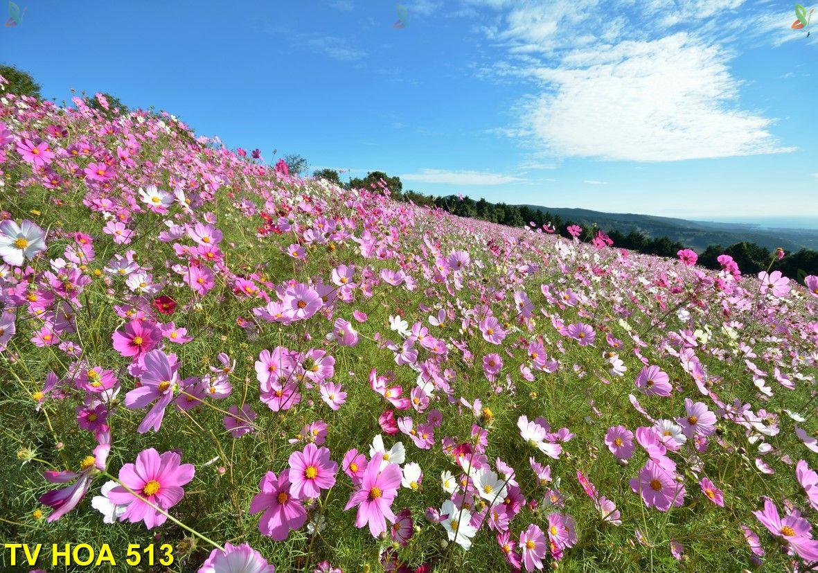 Tranh về hoa TV Hoa 513