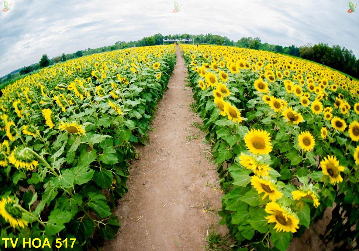 Tranh về hoa TV Hoa 517